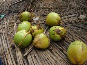 Manglore - Nariyals(Coconuts)